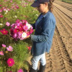 Cutting Cosmos bunches