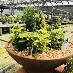 evergreen planter