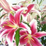 farm scb lilies