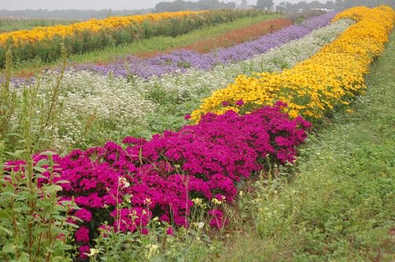 Farm flower field 2