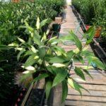 farm lilies